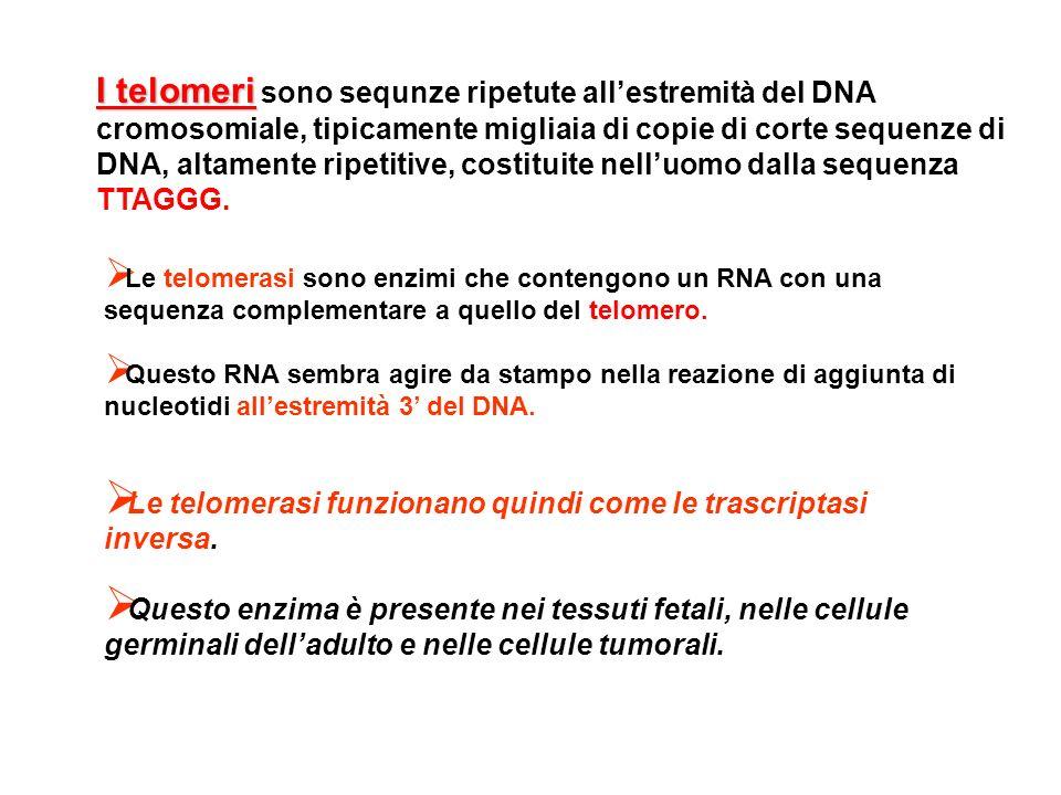 Le telomerasi sono enzimi che contengono un RNA con una sequenza complementare a quello del telomero. Questo RNA sembra agire da stampo nella reazione