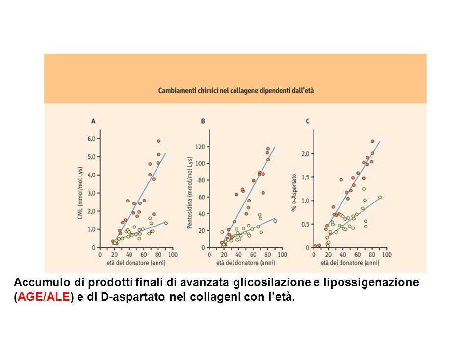 Accumulo di prodotti finali di avanzata glicosilazione e lipossigenazione (AGE/ALE) e di D-aspartato nei collageni con letà.