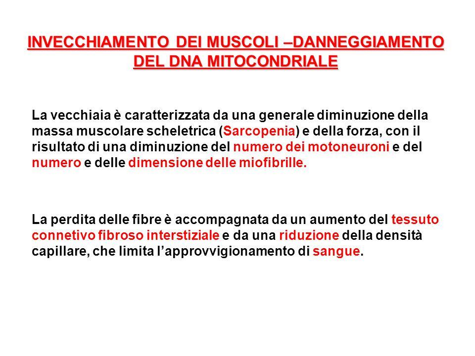 INVECCHIAMENTO DEI MUSCOLI –DANNEGGIAMENTO DEL DNA MITOCONDRIALE La vecchiaia è caratterizzata da una generale diminuzione della massa muscolare schel