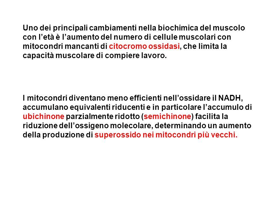 Uno dei principali cambiamenti nella biochimica del muscolo con letà è laumento del numero di cellule muscolari con mitocondri mancanti di citocromo o