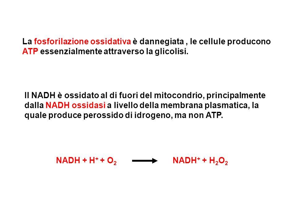 La fosforilazione ossidativa è dannegiata, le cellule producono ATP essenzialmente attraverso la glicolisi. Il NADH è ossidato al di fuori del mitocon
