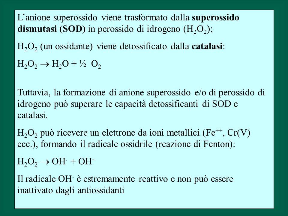 Lanione superossido viene trasformato dalla superossido dismutasi (SOD) in perossido di idrogeno (H 2 O 2 ); H 2 O 2 (un ossidante) viene detossificato dalla catalasi: H 2 O 2 H 2 O + ½ O 2 Tuttavia, la formazione di anione superossido e/o di perossido di idrogeno può superare le capacità detossificanti di SOD e catalasi.