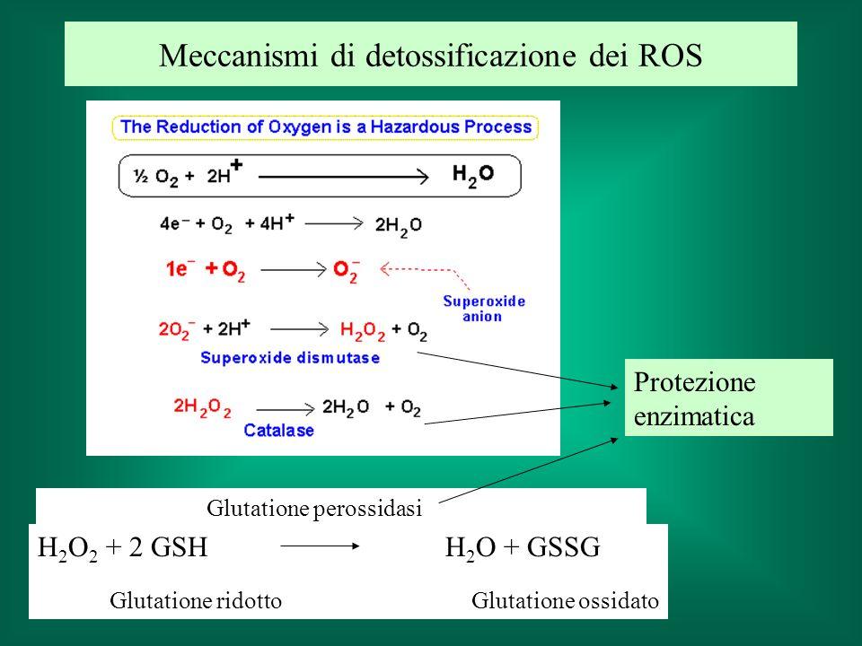 Protezione enzimatica H 2 O 2 + 2 GSH H 2 O + GSSG Glutatione ridotto Glutatione ossidato Glutatione perossidasi Meccanismi di detossificazione dei RO