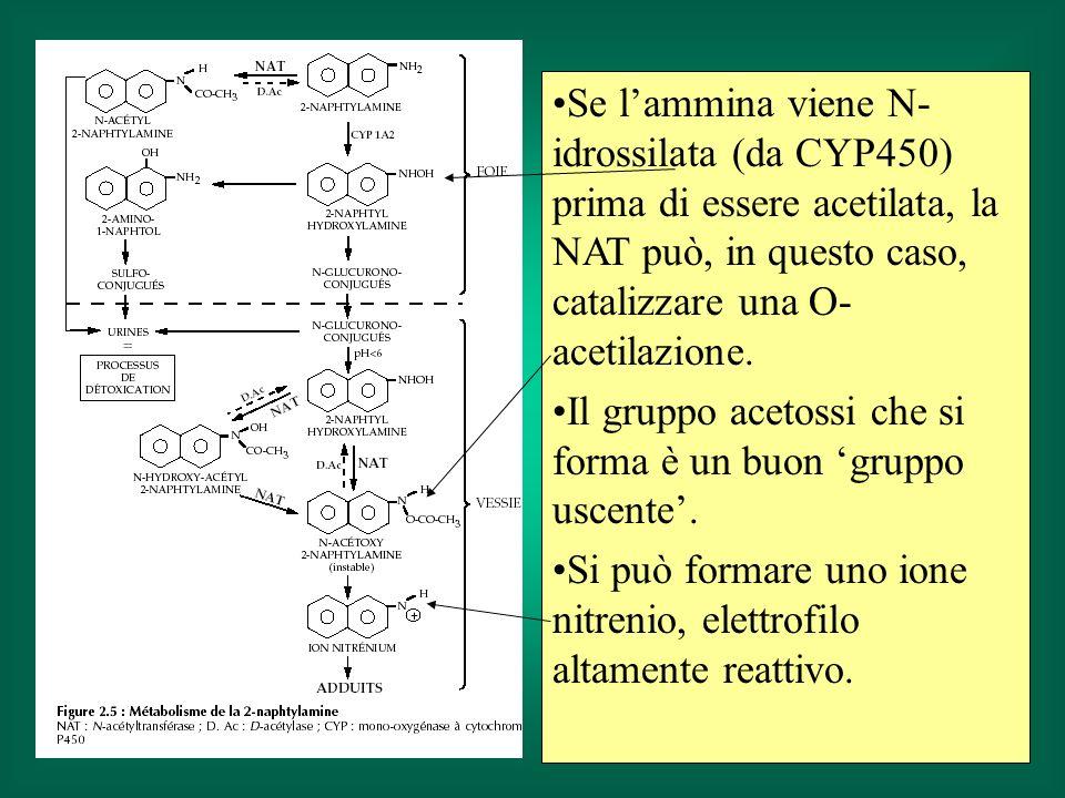Se lammina viene N- idrossilata (da CYP450) prima di essere acetilata, la NAT può, in questo caso, catalizzare una O- acetilazione. Il gruppo acetossi