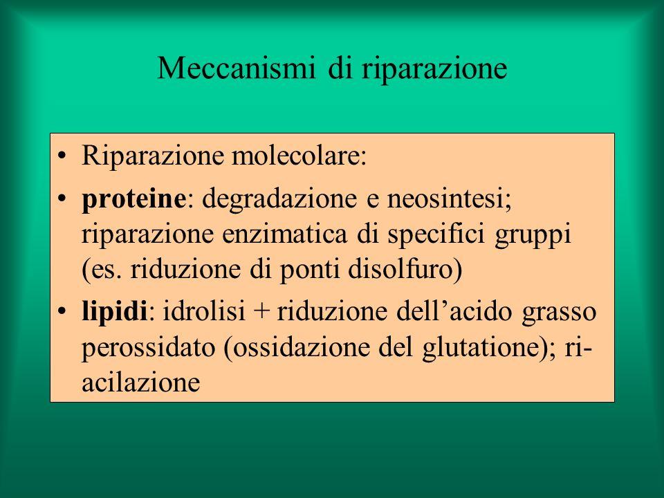 Meccanismi di riparazione Riparazione molecolare: proteine: degradazione e neosintesi; riparazione enzimatica di specifici gruppi (es. riduzione di po