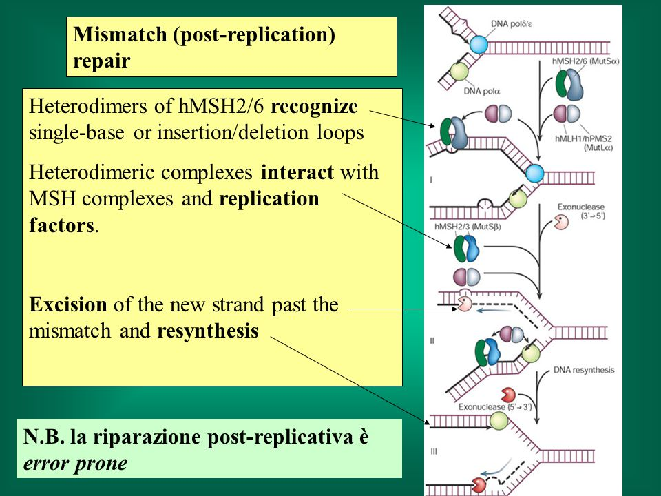 Heterodimers of hMSH2/6 recognize single-base or insertion/deletion loops Heterodimeric complexes interact with MSH complexes and replication factors.