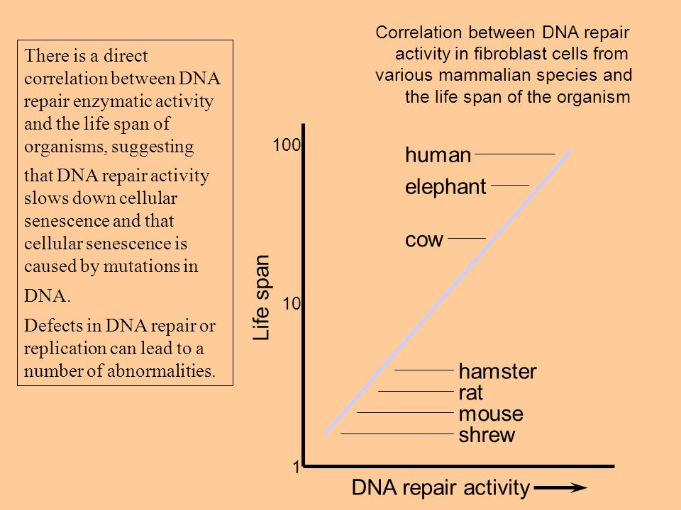 DNA repair activity Life span 1 10 100 human elephant cow hamster rat mouse shrew Correlation between DNA repair activity in fibroblast cells from var