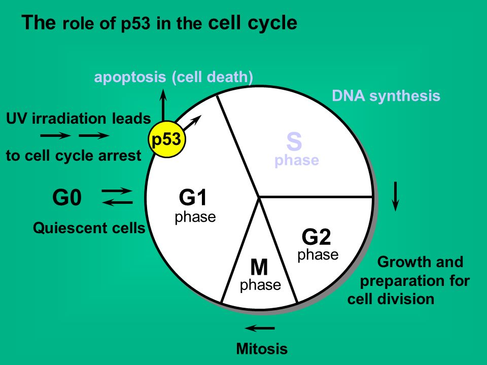 The role of p53 in the cell cycle G1 S G2 M G0 DNA synthesis Growth and preparation for cell division Quiescent cells phase Mitosis apoptosis (cell de