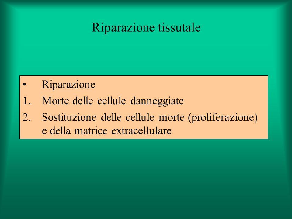 Riparazione tissutale Riparazione 1.Morte delle cellule danneggiate 2.Sostituzione delle cellule morte (proliferazione) e della matrice extracellulare