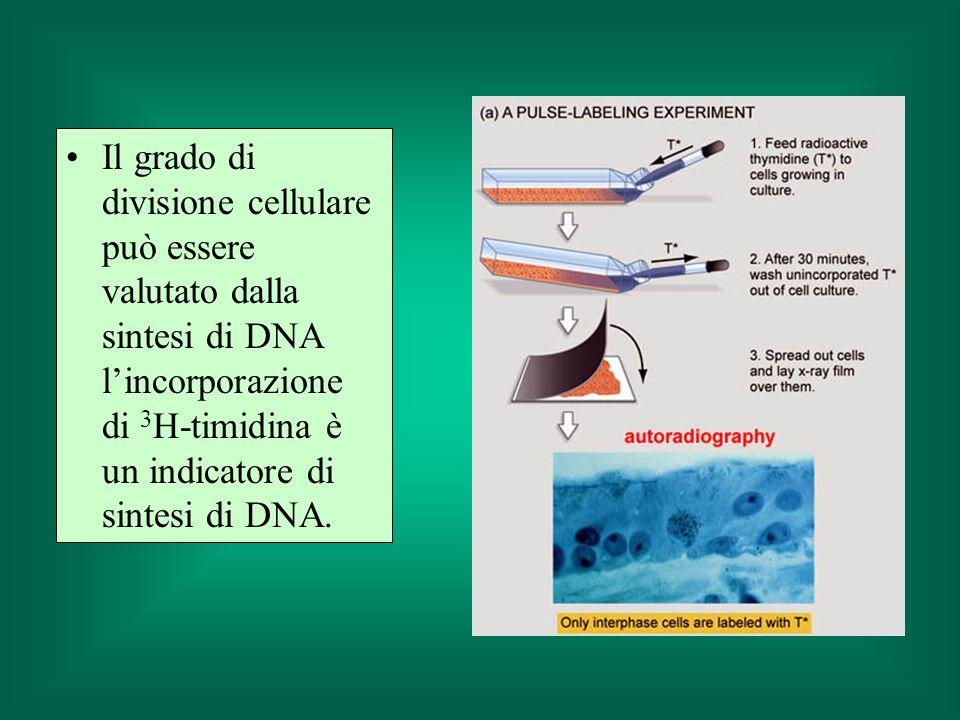 Il grado di divisione cellulare può essere valutato dalla sintesi di DNA lincorporazione di 3 H-timidina è un indicatore di sintesi di DNA.