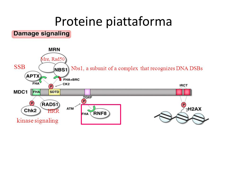 Proteine piattaforma Nbs1, a subunit of a complex that recognizes DNA DSBs Mre, Rad50 kinase signaling HRR SSB