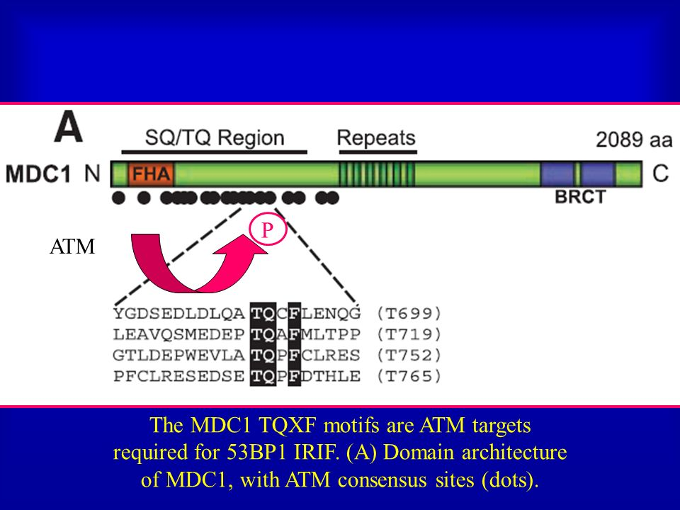 ATM P The MDC1 TQXF motifs are ATM targets required for 53BP1 IRIF. (A) Domain architecture of MDC1, with ATM consensus sites (dots).