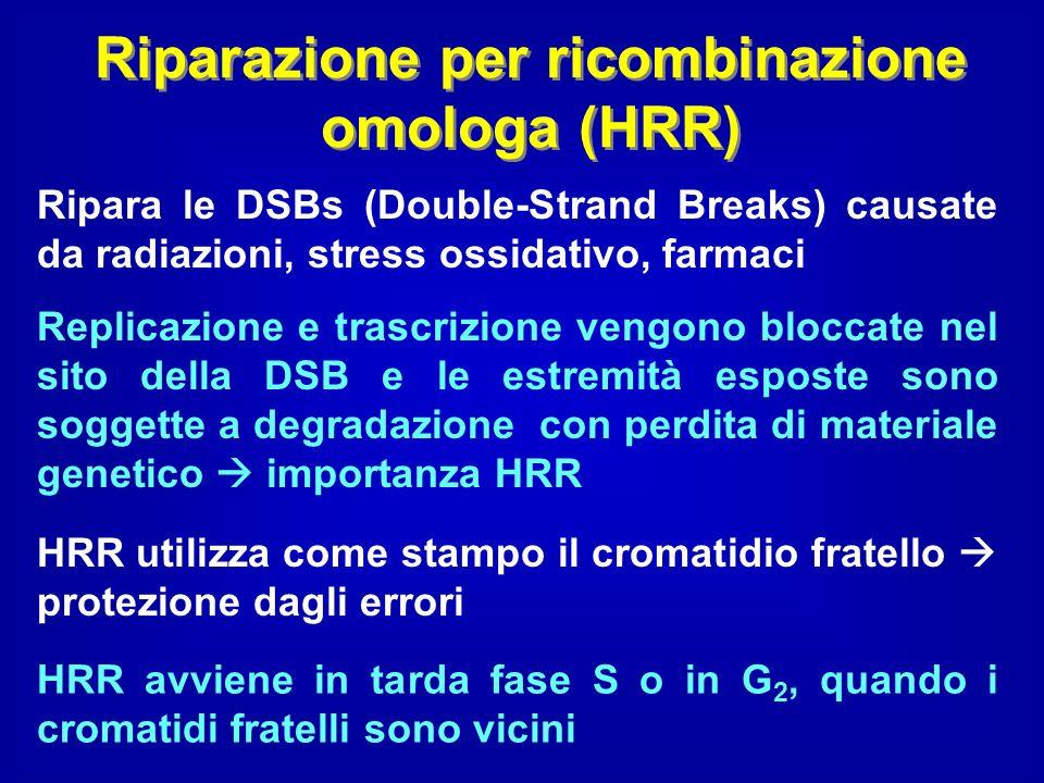 Riparazione per ricombinazione omologa (HRR) Ripara le DSBs (Double-Strand Breaks) causate da radiazioni, stress ossidativo, farmaci Replicazione e tr