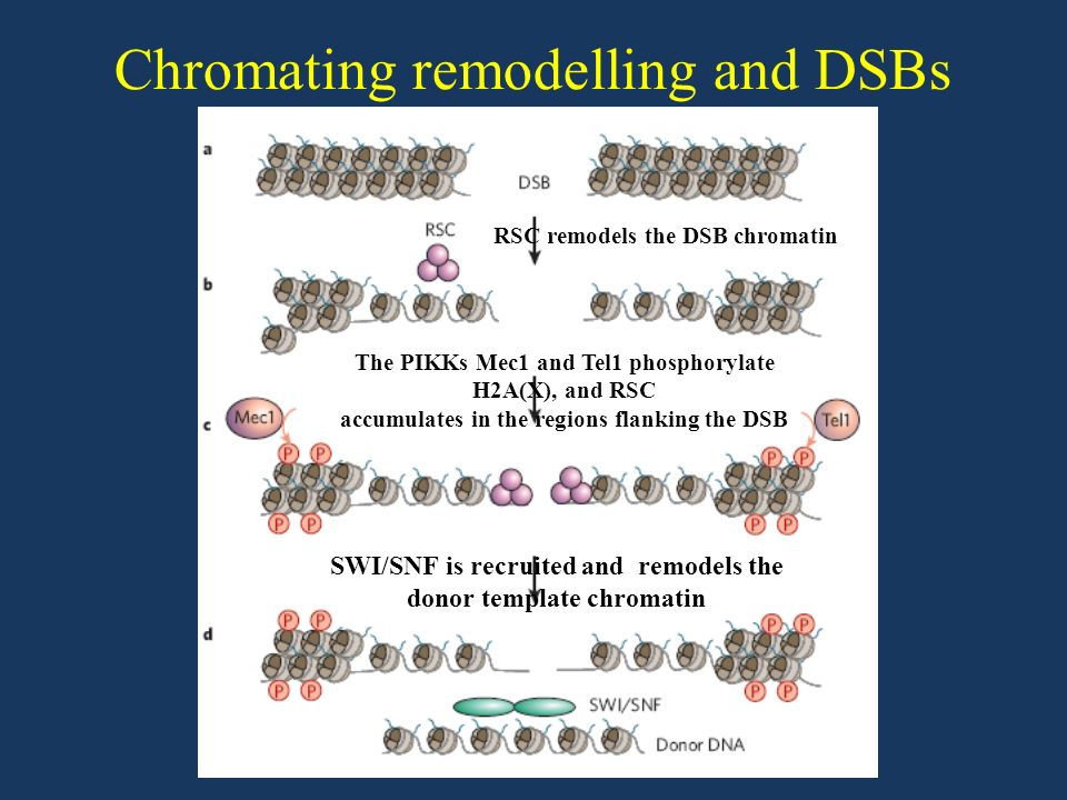 Mammals have evolved at least two genetically discrete ways to mediate DNA DSB repair: homologous recombination (HR) and non-homologous end joining (NHEJ).