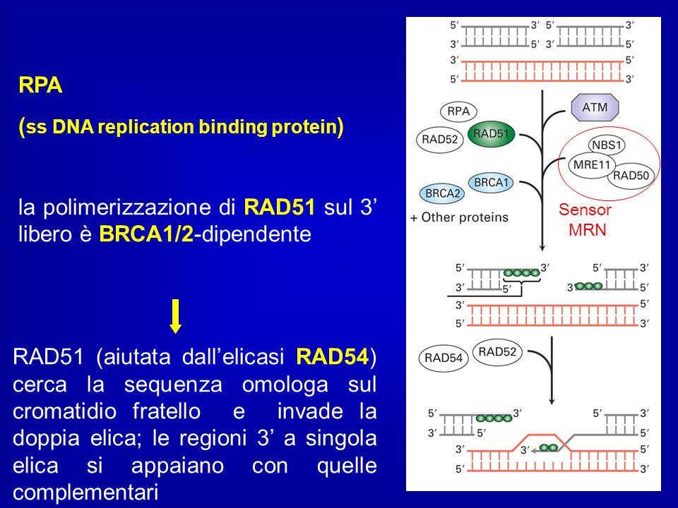 RPA ( ss DNA replication binding protein ) la polimerizzazione di RAD51 sul 3 libero è BRCA1/2-dipendente RAD51 (aiutata dallelicasi RAD54) cerca la s