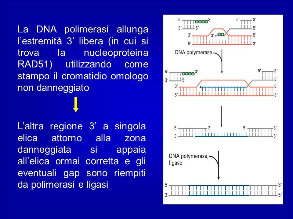 La DNA polimerasi allunga lestremità 3 libera (in cui si trova la nucleoproteina RAD51) utilizzando come stampo il cromatidio omologo non danneggiato