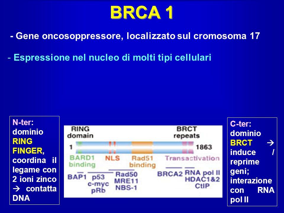 - Gene oncosoppressore, localizzato sul cromosoma 17 N-ter: dominio RING FINGER, coordina il legame con 2 ioni zinco contatta DNA C-ter: dominio BRCT