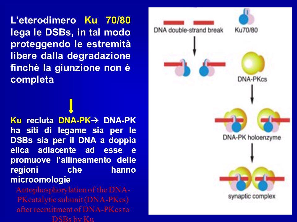 Leterodimero Ku 70/80 lega le DSBs, in tal modo proteggendo le estremità libere dalla degradazione finchè la giunzione non è completa Ku recluta DNA-P