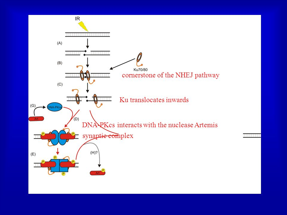 cornerstone of the NHEJ pathway Ku translocates inwards synaptic complex DNA-PKcs interacts with the nuclease Artemis