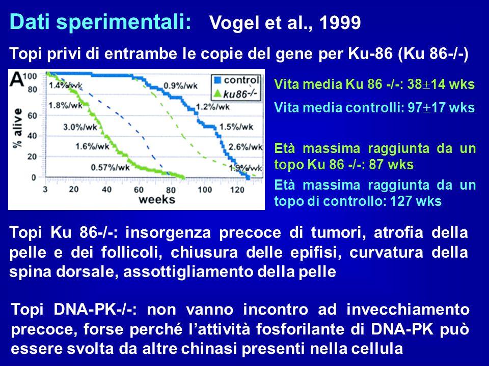 Dati sperimentali: Vogel et al., 1999 Topi privi di entrambe le copie del gene per Ku-86 (Ku 86-/-) Vita media Ku 86 -/-: 38 14 wks Vita media control