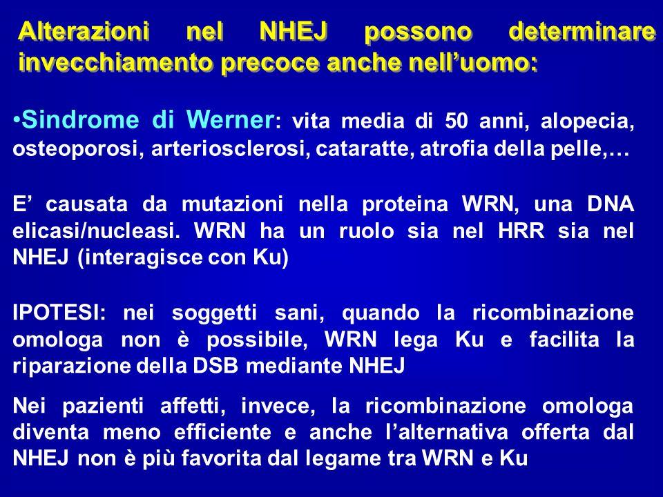 Sindrome di Werner : vita media di 50 anni, alopecia, osteoporosi, arteriosclerosi, cataratte, atrofia della pelle,… Alterazioni nel NHEJ possono dete
