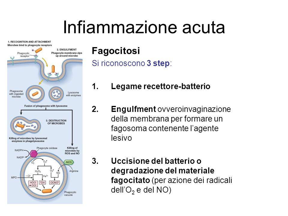 Infiammazione acuta Fagocitosi Si riconoscono 3 step: 1.Legame recettore-batterio 2.Engulfment ovveroinvaginazione della membrana per formare un fagos