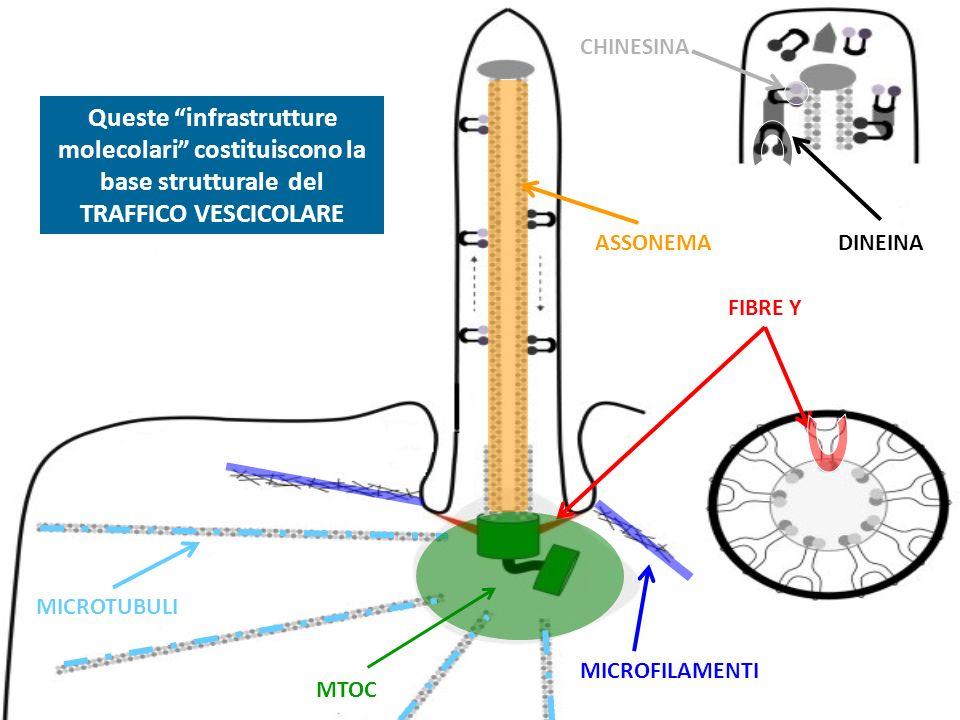 MTOC FIBRE Y MICROTUBULI MICROFILAMENTI ASSONEMA CHINESINA DINEINA Queste infrastrutture molecolari costituiscono la base strutturale del TRAFFICO VES