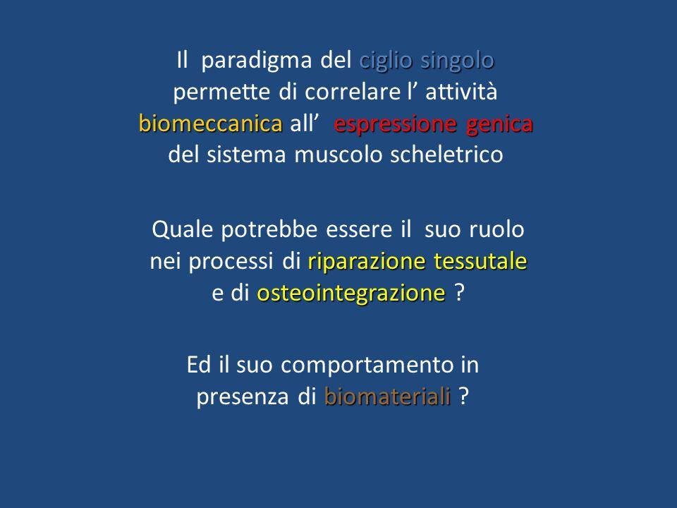 riparazione tessutale osteointegrazione Quale potrebbe essere il suo ruolo nei processi di riparazione tessutale e di osteointegrazione ? ciglio singo