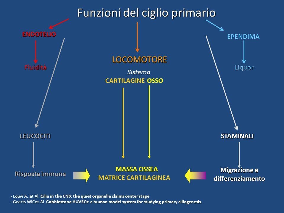 Funzioni del ciglio primario ENDOTELIO Fluidità STAMINALI Migrazione e differenziamento LOCOMOTORE MASSA OSSEA MATRICE CARTILAGINEA EPENDIMA Liquor LE
