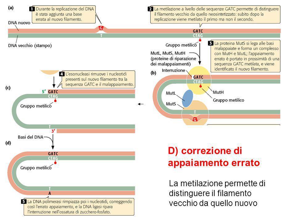 D) correzione di appaiamento errato La metilazione permette di distinguere il filamento vecchio da quello nuovo