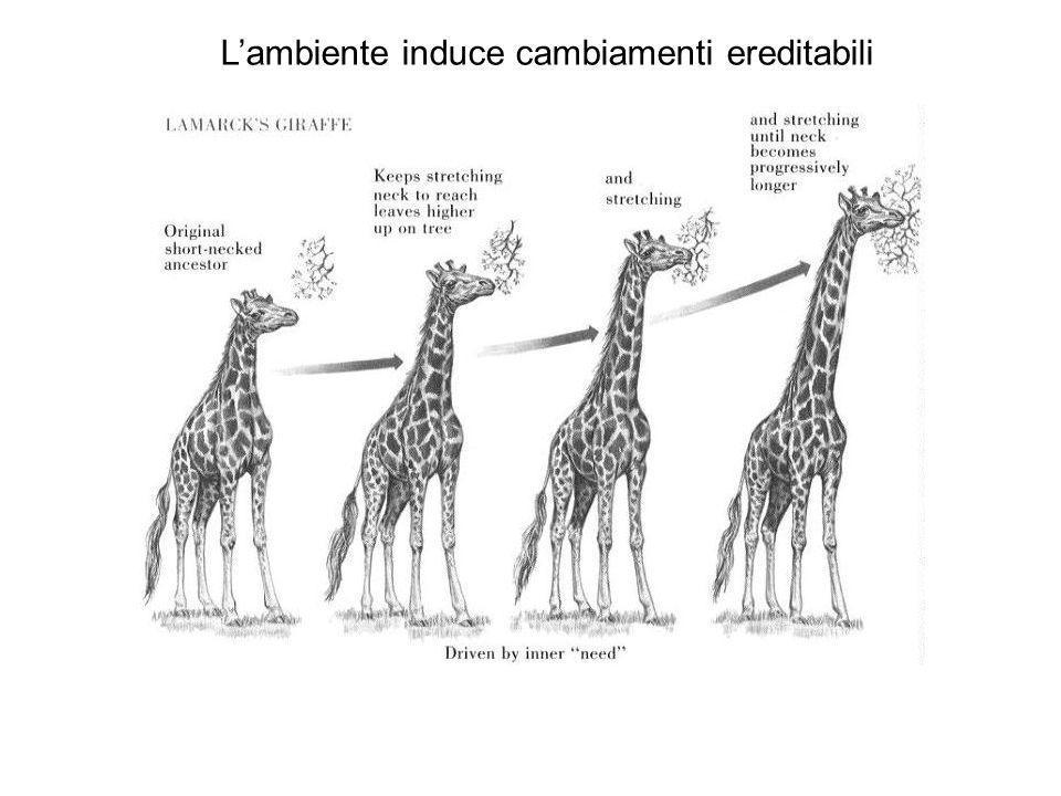 Darwins giraffes La variabilità fenotipica ha origine spontanea