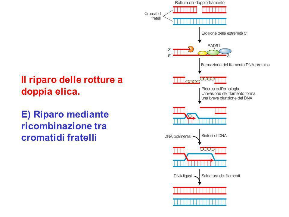Il riparo delle rotture a doppia elica. E) Riparo mediante ricombinazione tra cromatidi fratelli