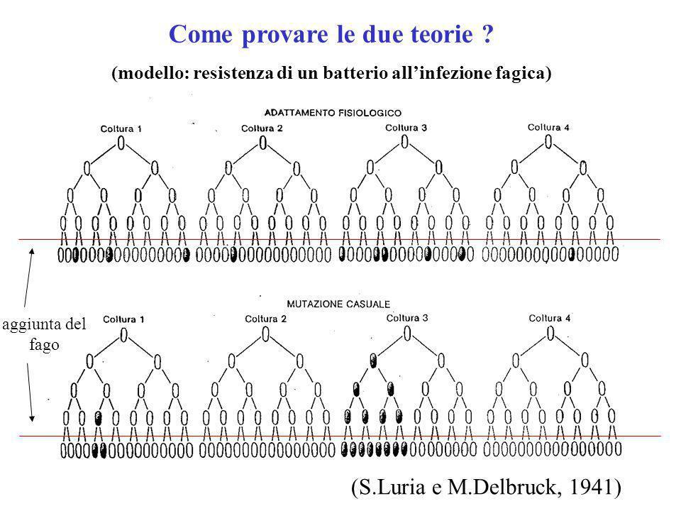 aggiunta del fago Come provare le due teorie ? (modello: resistenza di un batterio allinfezione fagica) (S.Luria e M.Delbruck, 1941)