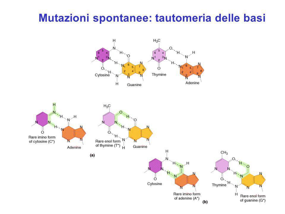Origine di una mutazione per tautomeria delle basi