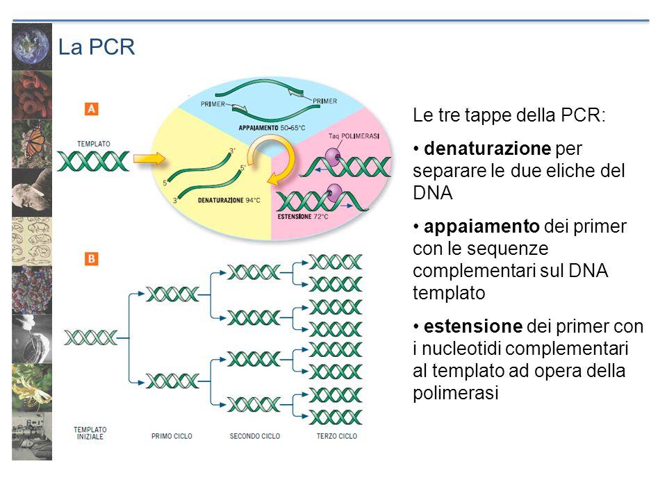 La PCR Le tre tappe della PCR: denaturazione per separare le due eliche del DNA appaiamento dei primer con le sequenze complementari sul DNA templato