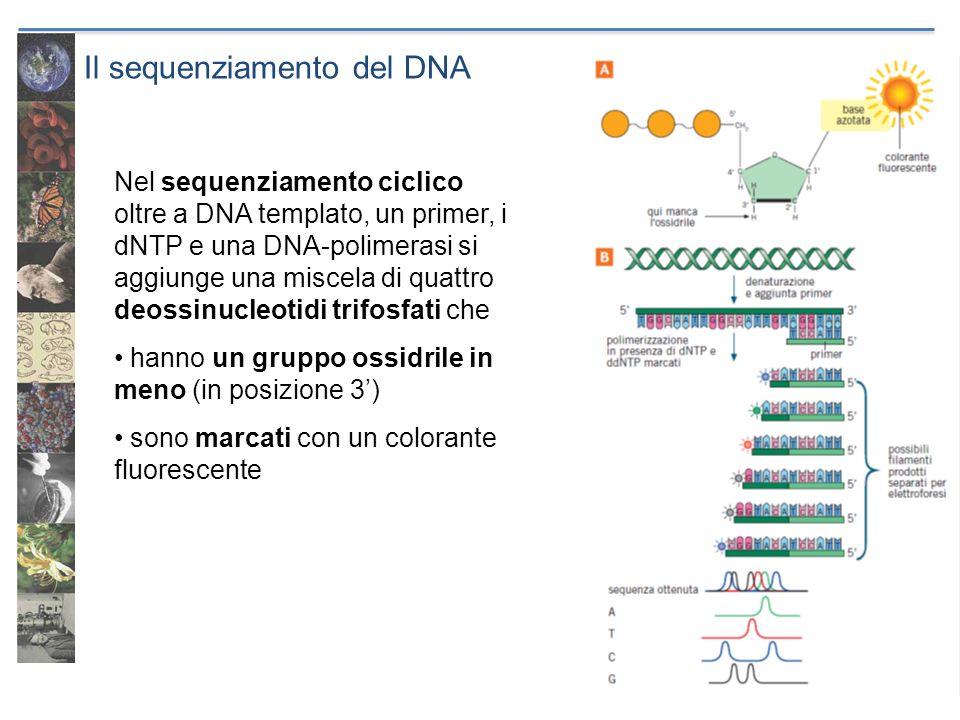 Il sequenziamento del DNA Nel sequenziamento ciclico oltre a DNA templato, un primer, i dNTP e una DNA-polimerasi si aggiunge una miscela di quattro d