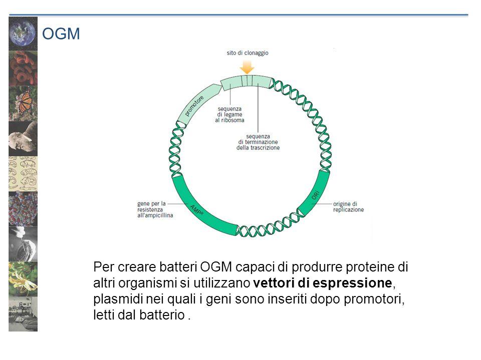 OGM Per creare batteri OGM capaci di produrre proteine di altri organismi si utilizzano vettori di espressione, plasmidi nei quali i geni sono inserit