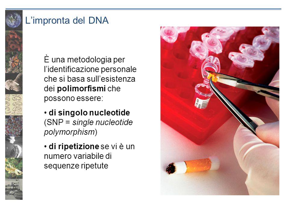 Limpronta del DNA È una metodologia per lidentificazione personale che si basa sullesistenza dei polimorfismi che possono essere: di singolo nucleotid