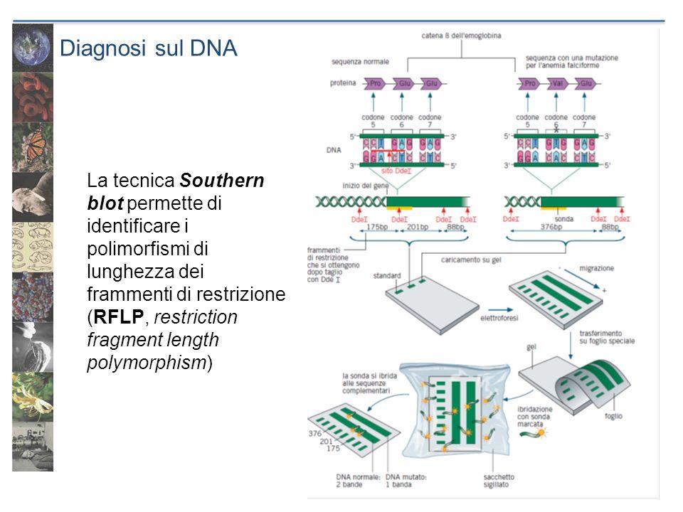 Diagnosi sul DNA La tecnica Southern blot permette di identificare i polimorfismi di lunghezza dei frammenti di restrizione (RFLP, restriction fragmen