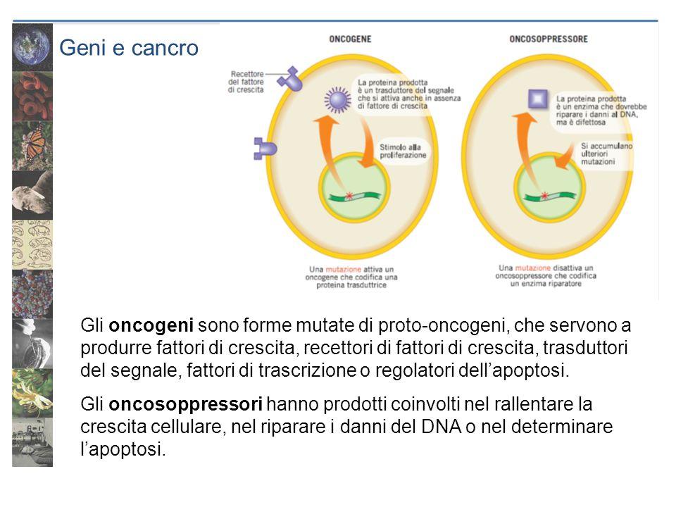 Geni e cancro Gli oncogeni sono forme mutate di proto-oncogeni, che servono a produrre fattori di crescita, recettori di fattori di crescita, trasdutt