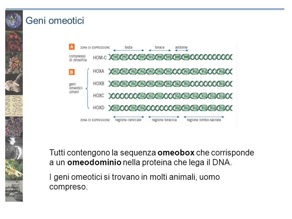 Geni omeotici Tutti contengono la sequenza omeobox che corrisponde a un omeodominio nella proteina che lega il DNA. I geni omeotici si trovano in molt