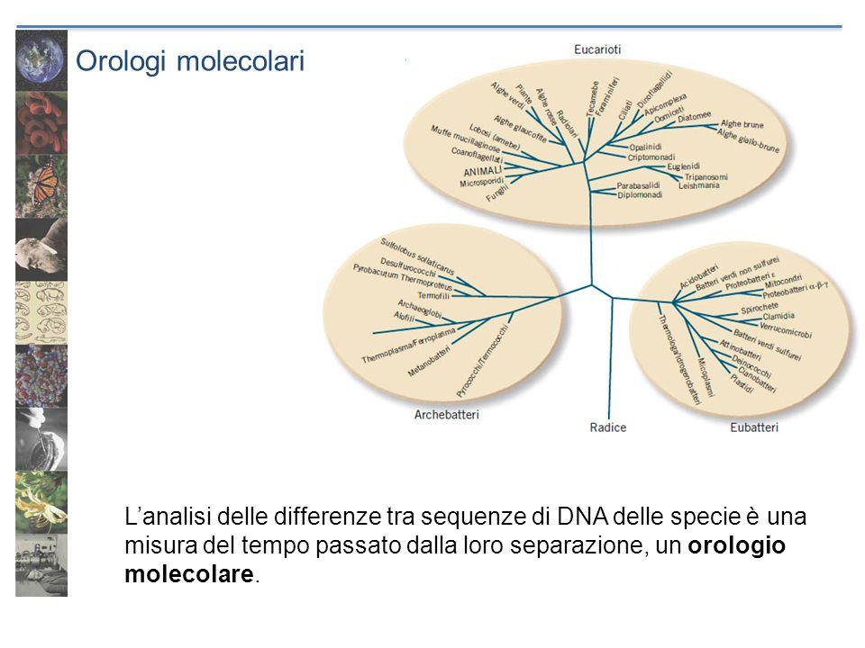 Orologi molecolari Lanalisi delle differenze tra sequenze di DNA delle specie è una misura del tempo passato dalla loro separazione, un orologio molec