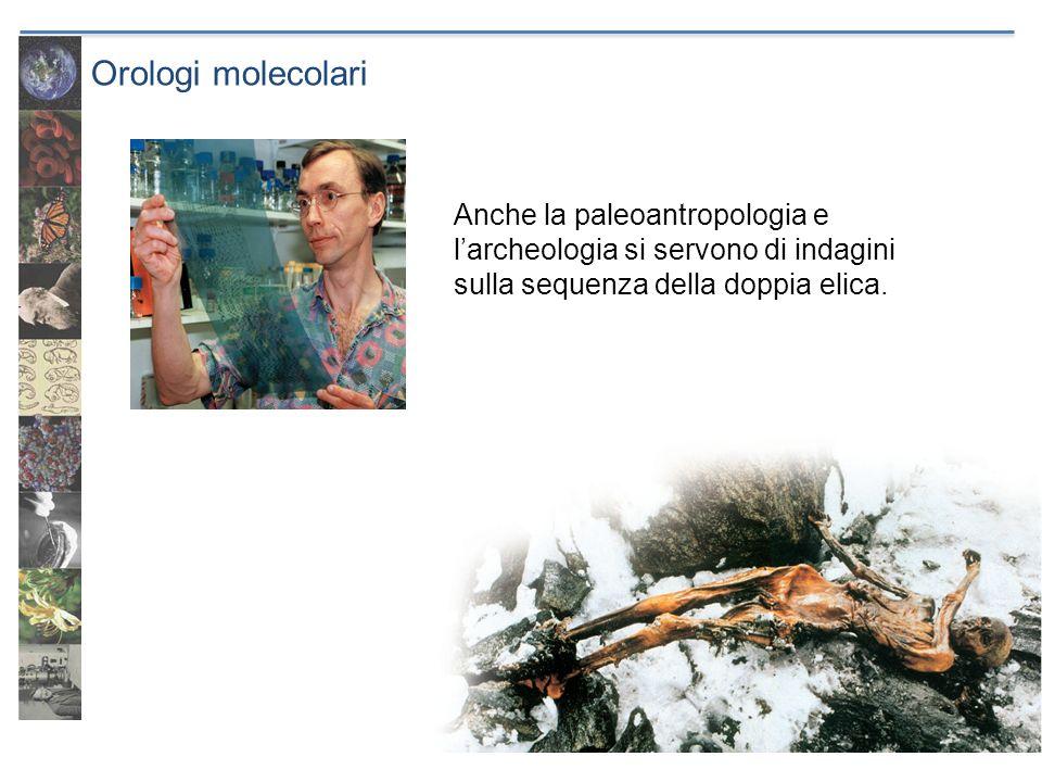 Orologi molecolari Anche la paleoantropologia e larcheologia si servono di indagini sulla sequenza della doppia elica.