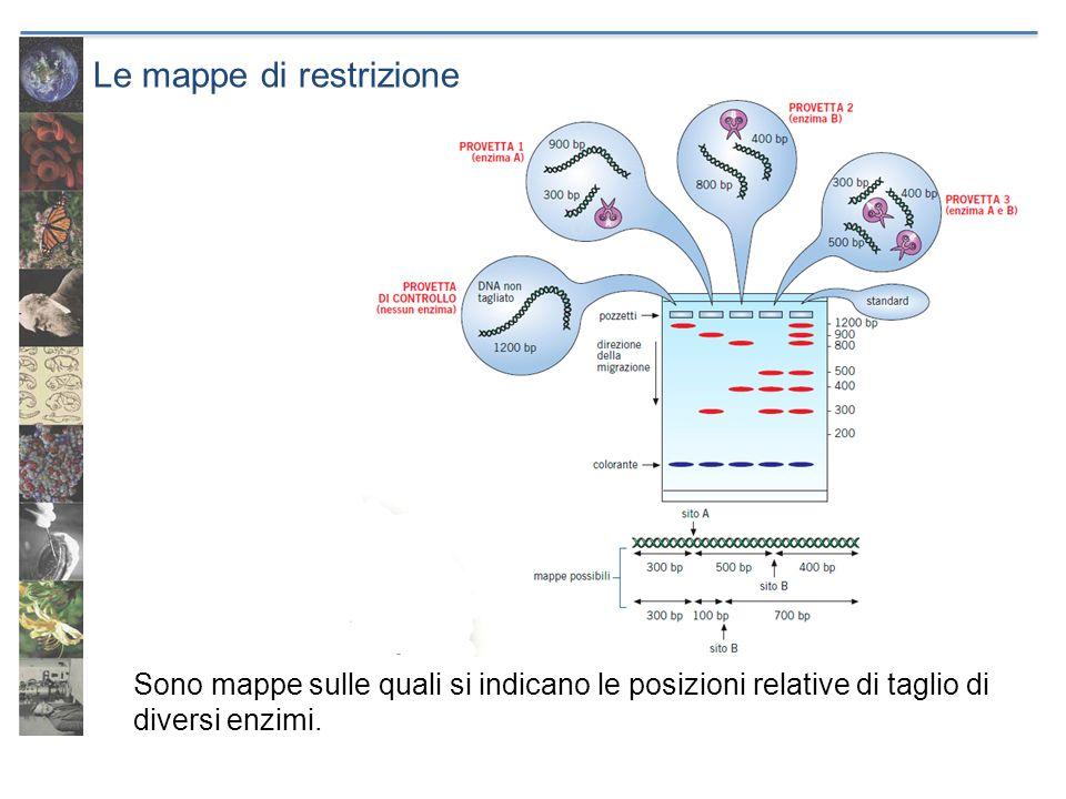 Le mappe di restrizione Sono mappe sulle quali si indicano le posizioni relative di taglio di diversi enzimi.