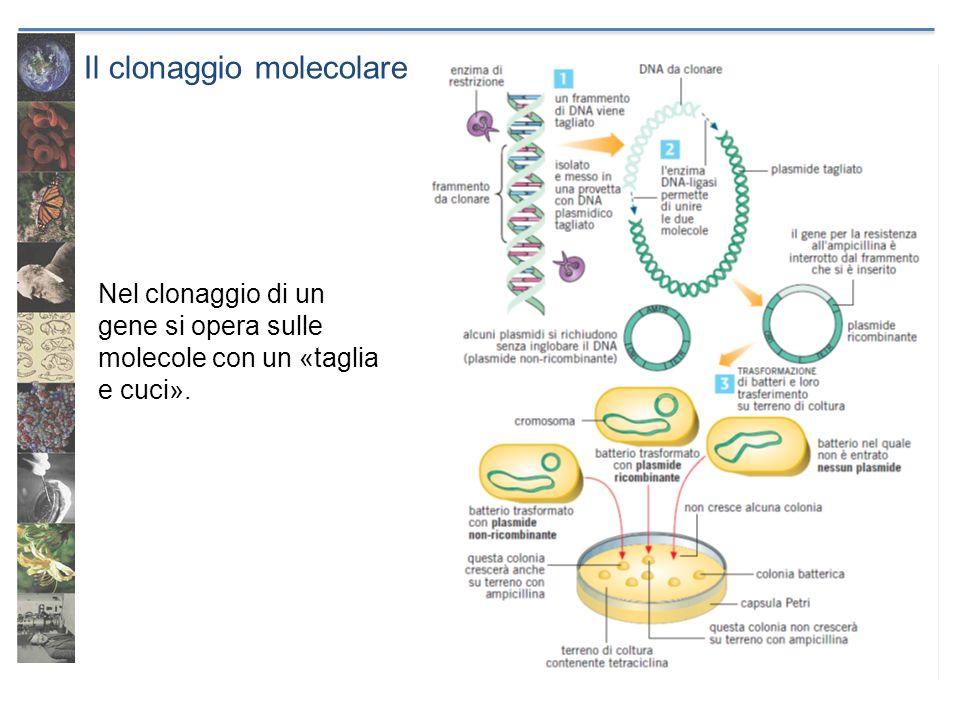 Il clonaggio molecolare Nel clonaggio di un gene si opera sulle molecole con un «taglia e cuci».