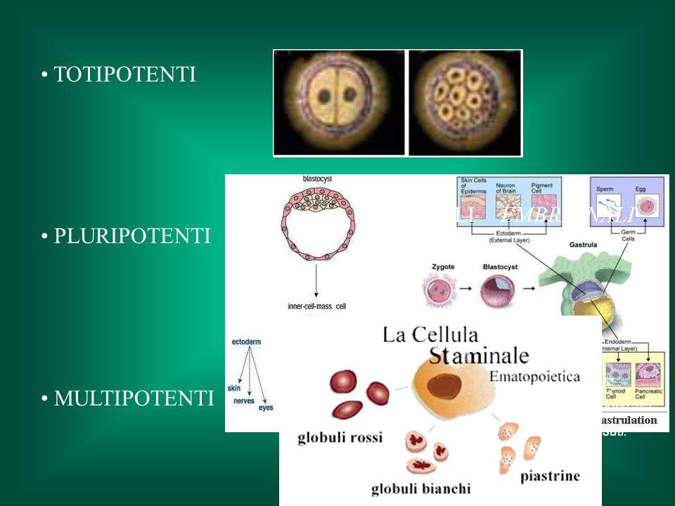 TOTIPOTENTI PLURIPOTENTI MULTIPOTENTI STAMINALI EMBRIONALI STAMINALI ADULTE sono pluripotenti e unipotenti :provvedono alla riparazione e al mantenimento dei tessuti.