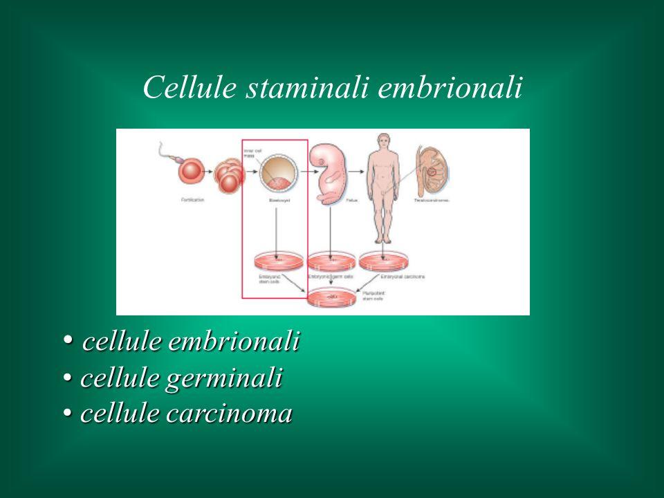 cellule embrionali cellule embrionali cellule germinali cellule germinali cellule carcinoma cellule carcinoma