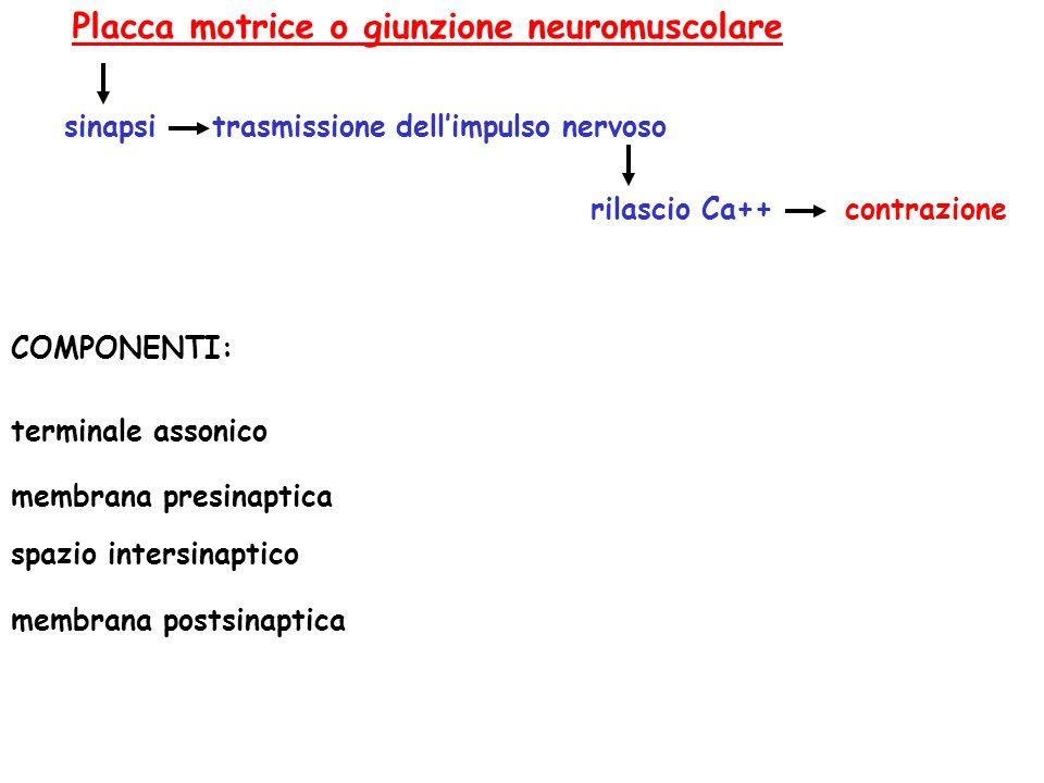 trasmissione dellimpulso nervoso contrazione Placca motrice o giunzione neuromuscolare sinapsi rilascio Ca++ terminale assonico membrana presinaptica