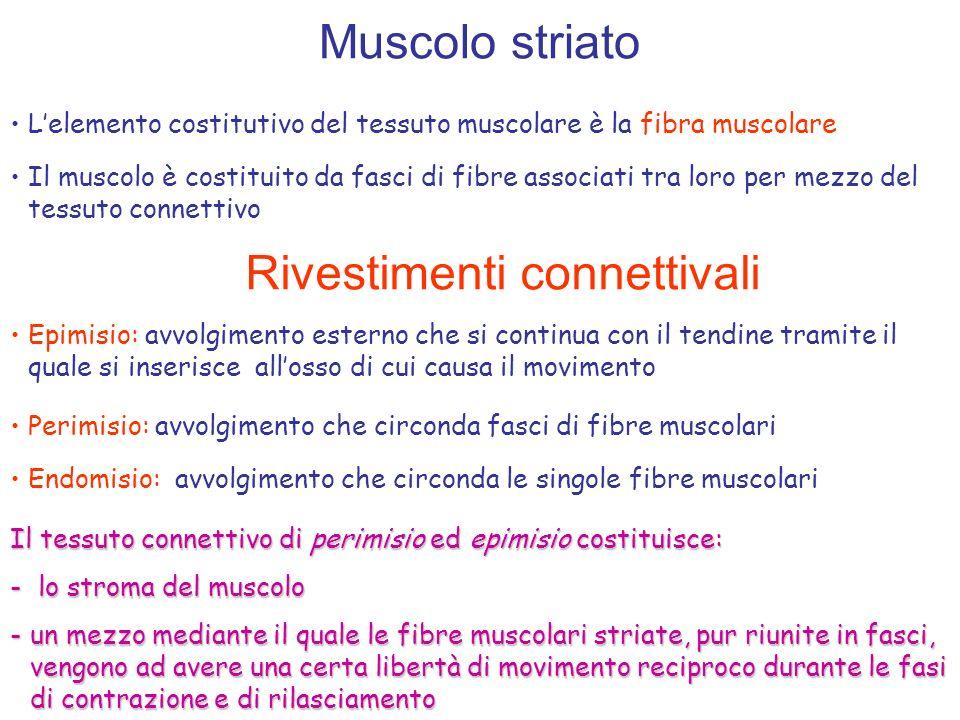 Muscolo striato Lelemento costitutivo del tessuto muscolare è la fibra muscolare Il muscolo è costituito da fasci di fibre associati tra loro per mezz