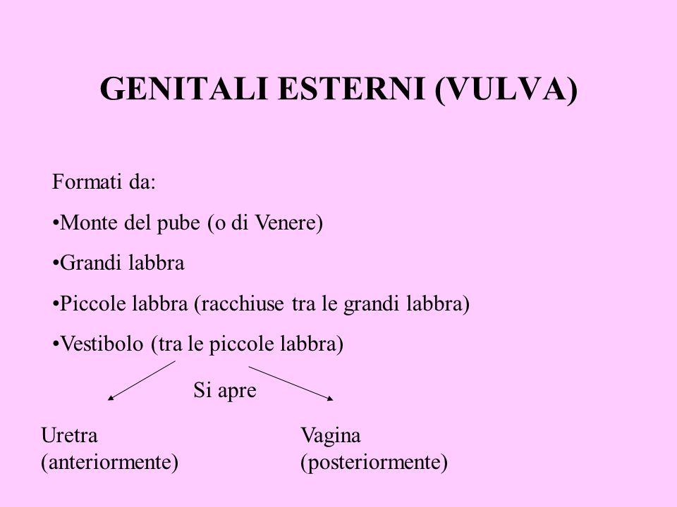 GENITALI ESTERNI (VULVA) Formati da: Monte del pube (o di Venere) Grandi labbra Piccole labbra (racchiuse tra le grandi labbra) Vestibolo (tra le picc